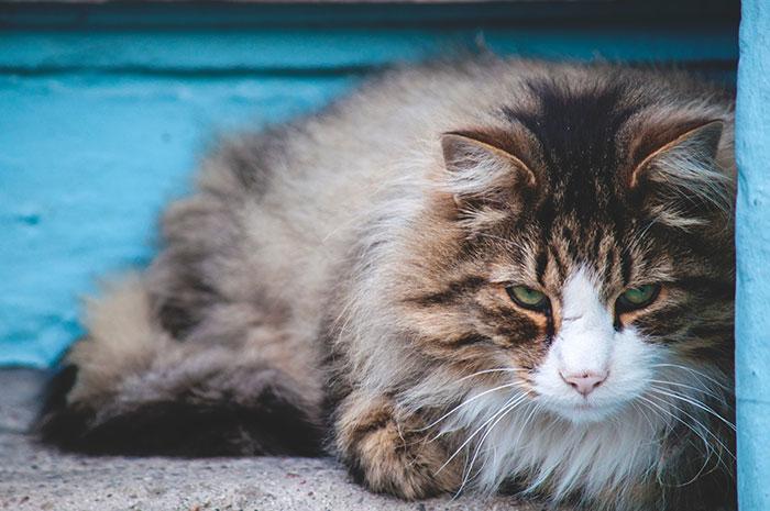 گالری عکس گربه پشمالو؛ زیبا و ملوس برای پروفایل - پیکورو