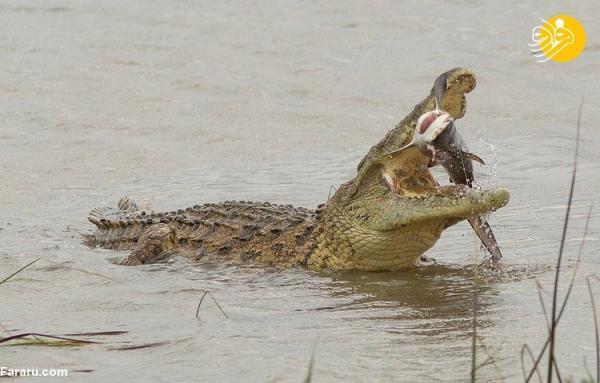 (تصاویر) لحظه شکار گاوکوسه توسط تمساح نیل