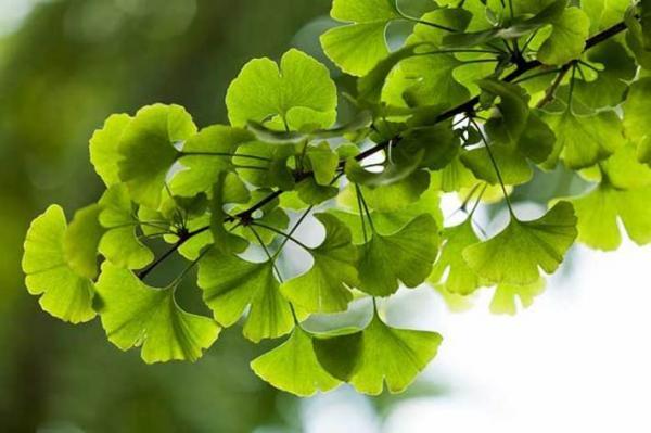 فواید باورنکردنی گیاه جینکوبیلوبا